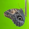 Caligo memnon, Owl 3564