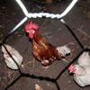 Chicken, Gallus gallus domesticus 2397