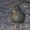 Blackbird, female, Turdus merula 4008