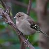 Chaffinch, female, Fringilla coelebs 3979