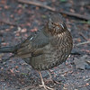 Blackbird, female, Turdus merula 4007