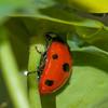 7-spot Ladybird, Coccinella 7-punctata 9859