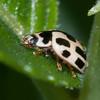 14-spot Ladybird, Propylea 14-punctata 9856