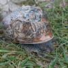 Garden Snail, Helix aspersa 9615