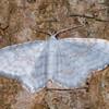 Small White Wave, Asthena albulata 9850