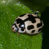 14-spot Ladybird, Propylea 14-punctata 9857
