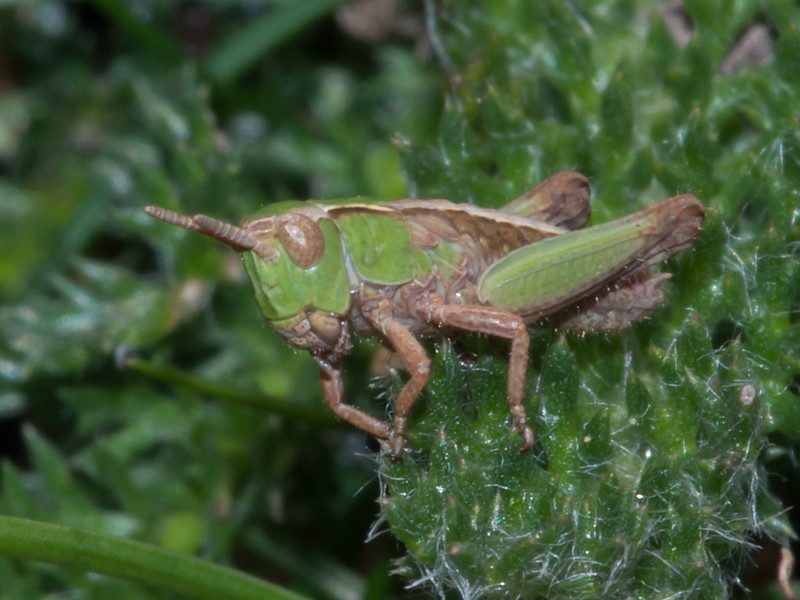Meadow Grasshopper nymph, Chorthippus parallelus 9660