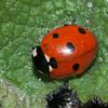 7-spot Ladybird, Coccinella 7-punctata 9860