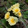 False Oxlip, Primula x polyantha 9819