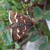 Wavy-barred Sable, Pyrausta nigrata 7498