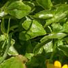 Lesser Celandine, Ranunculus ficaria 6824