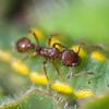 Adonis Blue larva with ants, Polyommatus bellargus 7232