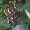 Wavy-barred Sable, Pyrausta nigrata 7531