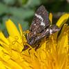 Wavy-barred Sable, Pyrausta nigrata 7129