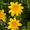 Lesser Celandine, Ranunculus ficaria 6823