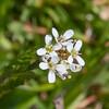 Hairy Bittercress, Cardamine hirsuta, whiteflora 6826