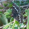 Wavy-barred Sable, Pyrausta nigrata 7075