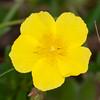 Common Rock-rose, Helianthemum chamaecistus 6485