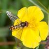 Migrant Hoverfly, Meliscaeva auricollis on Common Rock-rose, Helianthemum chamaecistus 6484