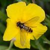 Migrant Hoverfly, Meliscaeva auricollis on Common Rock-rose, Helianthemum chamaecistus 6483