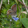 Brown Argus, Aricia agestis 1928