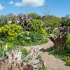 Wood Spurge, Euphorbia amygdaloides, Arundel Castle gardens 9121