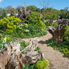 Wood Spurge, Euphorbia amygdaloides, Arundel Castle gardens 9122