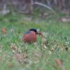 Bullfinch, Pyrrhula pyrrhula 6164