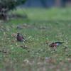 Bullfinches, female and male, Pyrrhula pyrrhula 6168