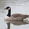 Canada Goose, Branta canadensis 6088