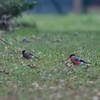 Bullfinches, female and male, Pyrrhula pyrrhula 6167