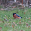 Bullfinch, Pyrrhula pyrrhula 6158