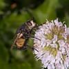 Tachinid fly, Nowickia ferox 2714