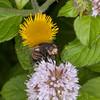 Tachinid fly, Nowickia ferox 2711