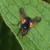 Noon Fly, Mesembrina meridiana 2742