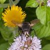Tachinid fly, Nowickia ferox 2712