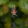 Spider, Metellina species 2722