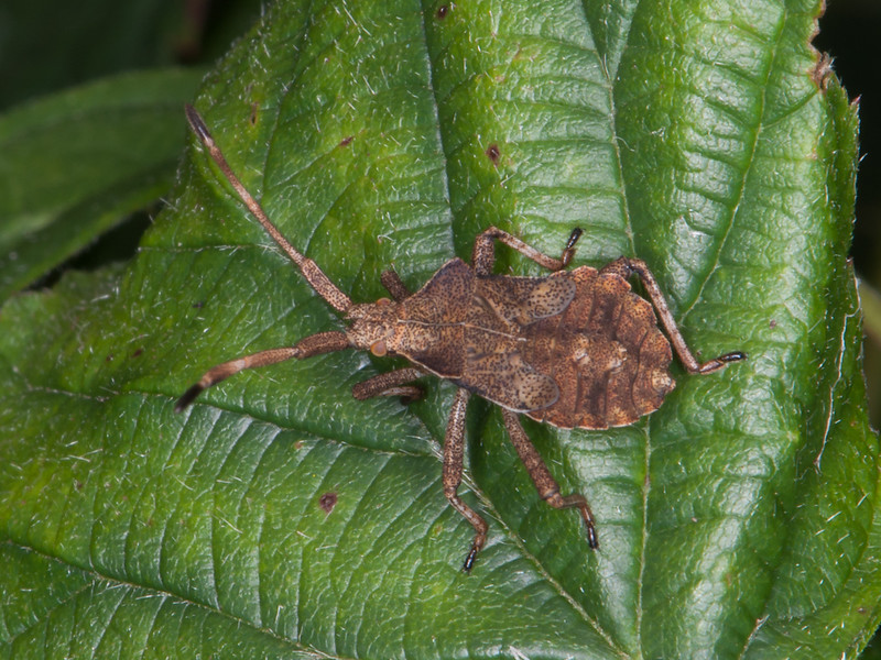 Dock Bug late instar, Coreus marginatus 2776