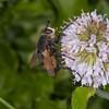 Tachinid fly, Nowickia ferox 2713