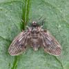 Moth Fly, Pericoma species 2734