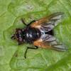 Noon Fly, Mesembrina meridiana 2743