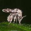 Moth Fly, Pericoma species 2736