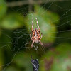 Spider, Metellina species 2721