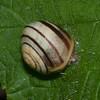 White-lipped Snail, Cepaea hortensis 1649