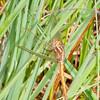 Keeled Skimmer, female, Orthetrum coerulescens 0582