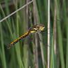 Black Darter, female, Sympetrum danae 0658