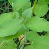 Lesser Knotweed, Persicaria campanulata 0759
