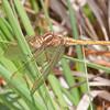 Keeled Skimmer, female, Orthetrum coerulescens 0592