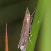 Veneer moth noid 0625