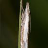 Inlaid Grass-veneer, Crambus pascuella 0610